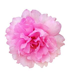 rose-damas